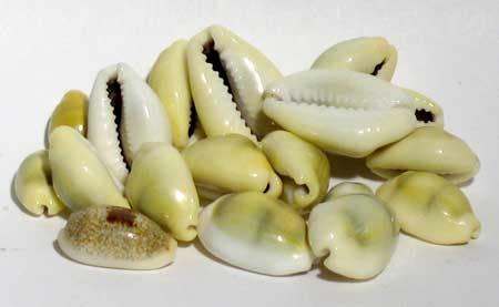 1# Cowrie Shells